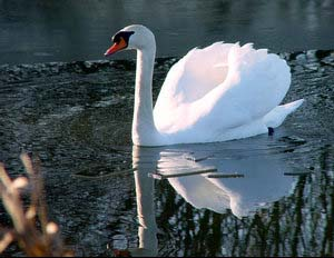 A mute swan. Brought to the Chesapeake in the fifties, the mute swan has become a pest.